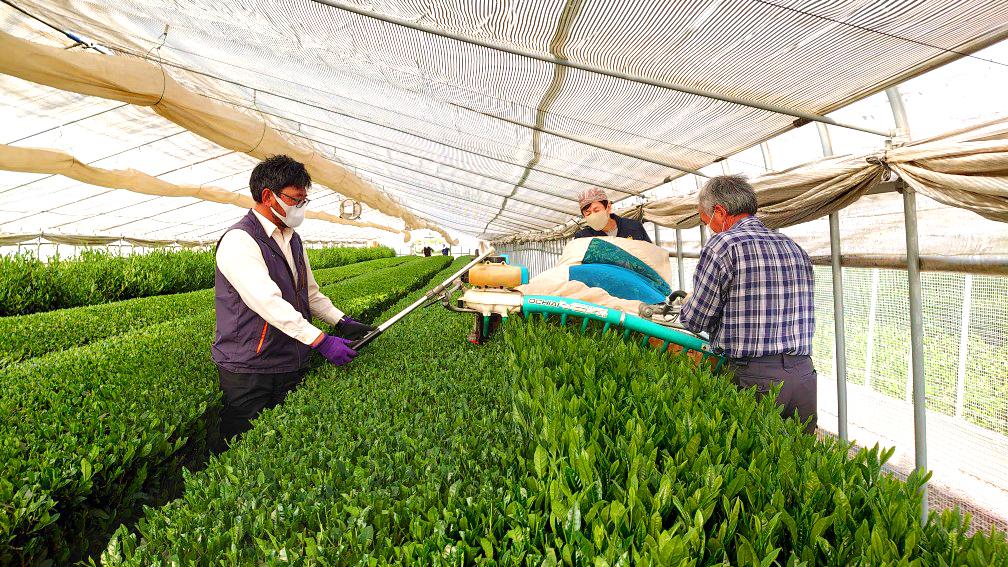 本年も新茶の季節が近づき、八十八夜に先立ち恒例の茶業協会ハウスの摘み取り作業が行われました。